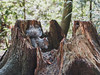 A Cozy Squrriel (little_stephy0925) Tags: vancouver bc britishcolumbia canada burnaby burnabycentralpark squrriel cozy fujifilm fuji fujifilmxh1 fujixh1 xh1 fujinonxf1655mm xf1655mm mirrorlesscamera classicchrome nature bokeh closeup wildlife