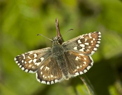 By the bush (pauldunn52) Tags: grizzled skipper merthyr mawr dunes south wales glamorgan heritage coast