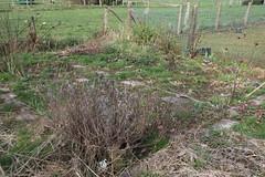 My garden (XXIV) (dididumm) Tags: mess messy chaos garden sixthyear earlyspring leftovers reste vorfrühling sechstesjahr garten unordentlich durcheinander chaotisch unordnung