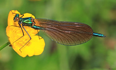 Calopteryx virgo (timz501) Tags: damselfly jersey beautifuldemoiselle calopteryxvirgo