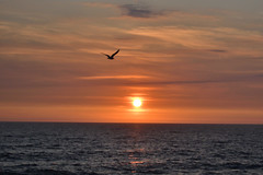(135/365) Tuesday May 15th (philk_56) Tags: jersey sunset sea bird seagull sun water waves channel islands stouens bay