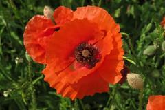 Papaveri (LaManuPhotos) Tags: papaveri poppy pavot red flowers nature green monet vangogh springtime