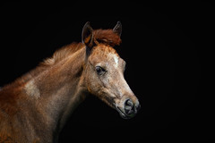 Arabian Profile (FocusPocus Photography) Tags: araber arab arabian araberpferd pferd horse fohlen foal tier animal hauptundlandgestüt marbach