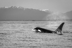 Orca (killer) Whale (Orcinus orca) (Freshairphotography) Tags: orcinusorca orca orcawhale killerwhale westcoast pacificocean vancouverisland explorevancouverisland straitofgeorgia georgiastrait biggswhales transientwhales residentwhales bcscoast marinemammal mammal coastalwaters ocean seacreature coast canada