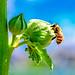 Bee in The Blue Sky : 青空にミツバチ