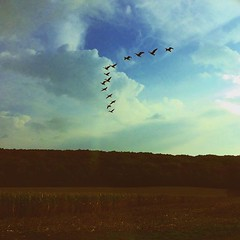 heading south (HalcyonPhotos) Tags: flying geese sky field birds vshape formation animals fauna nature outside trees cornfield farm autumn winter clouds blue