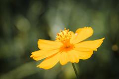 DSC_5108 (Trần Hữu Tiến) Tags: macro tokia100mmf28macro flower bee nikond600