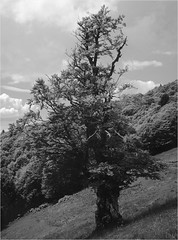 vieil arbre au Kastelberg - Vosges (JJ_REY) Tags: vielarbre oldtree montagne mountains largeformat 4x5 polaroidt55 peelapart instantfilm negative toyofield 45a rodenstocksironarn 150mmf56 epson v800 alsace france