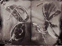 Produc(ed)-12855 (Poetic Medium) Tags: banana enlight moldiv food blackandwhite kitcamghostbird produce snapseed stilllife ipod diptych