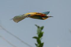 20mai18_19_prigorii prundu 19 (Valentin Groza) Tags: prigorie prigorii bee eater merops apiaster romania summer bird flight bif birdwatching outdoor