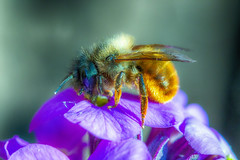 Busy Bee (Novice Shooter) Tags: beautiful bee insect invertebrate spring macro ef100mmf28macrousm canon canoneos canoneos70d closeup nature