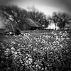 The Old Falling Down Barn (Anne Worner) Tags: anneworner blackandwhite lensbaby bw bend blur composerpro doubleglass flowers landscape manualfocus manualfocuslens mono oldbarn selectivefocus square silverefex monochrome olympus fauna nature abandoned barn grass
