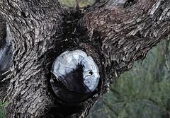 Gnarled Tree (blan555) Tags: nature trees arizona greenvalley flora bark woodlands woods forest plants canonfd50mm14 canonfd fujixt1