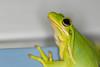 Eye's Up (Michael Allen Siebold (Getty Images Contributor)) Tags: animal animalthemes animalwildlife animalsinthewild macro nopeople outdoors upclose free freeflying frog nature oneanimal wild wildlife