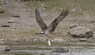 Osprey: Pandion haliaetus
