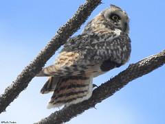 Short-eared owl (Geminiature Nature+Landscape Photography Mallorca) Tags: owls uilen mallorca aves birds aus vogels shortearedowl asioflammeus búhocampestre velduil scarce lechuzacampestre
