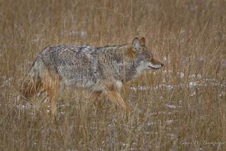 Prairie Coyote
