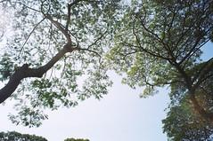 (Cak Bowo) Tags: snapshot tree pohon surabaya eastjava indonesia fujifilmzoomdatef28 fujifilmsilvif28 zoomdatef28 silvif28 pointandshoot pocket compact film kodak colorplus kodakcolorplus200 kebunbibit kebunbibitwonorejo wonorejo