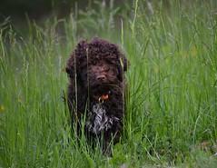 The catcher in the rye (bornapetrovcic) Tags: truffle cute sweet dog flowers nature rye grass kennel puppy croatia žumberak zumberak lagotto'speak lagotto lagottoromagnolo d800 nikon bornapetrovcic bornapetrovčić