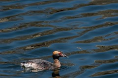 2017 Horned Grebe (DrLensCap) Tags: south pond nature boardwalk at lincoln park zoo chicago illinois horned grebe il bird duck robert kramer
