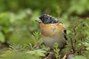 Male Brambling (Thomas Winstone) Tags: wales unitedkingdom gb brambling canonuk canon 300mm28mk2 birds aves uk bird outdoors wildlife nature wildbirds countryside outdoor avian 3lt 3leggedthing thomaswinstonephotography bbc springwatch bbcspringwatch nationalgeographic forest