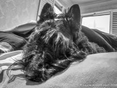 IMG_2836-Edit (Laurie2123) Tags: iphone8plus laurieabbotthartphotography laurieturner laurie2123 maggie maggiemae missmaggie scottie scottieterrier scottiedog scottishterrier scotty scottydog bedroom blackscottie blackdog nhome bnw blackandwhite monotone monochrome odc odc2018 ourdailychallenge