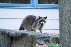 Caught in the Act (jodiboe) Tags: westlafayette indiana unitedstates us raccoon