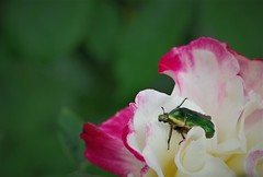 Cetonia aurata esterrefatta dal profumo della rosa (Angelo Petrozza) Tags: green rose chafer cetonia aurata coleoptera coleottero rosa insect insetto hd70mmlimited angelopetrozza entomologia