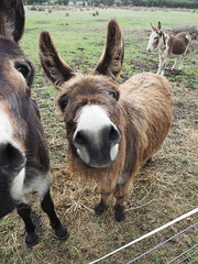 Funny Donkeys I – Red Moon Sanctuary, Redmond, Western Australia (Red Moon Sanctuary) Tags: redmond westernaustralia australia au farm donkeys animals 6327 greatsouthern wa redmoonsanctuary