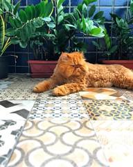 (rfellipe) Tags: catmoments gato persa ladrilhoshidráulicos persian cat orange