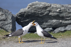 Seagull in spring mood (G E Nilsen) Tags: seagull spring mood sea seabird brønnøy norway nordnorge northernnorway norwegiancoast blackbacked gull svartbak