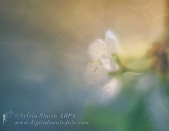 Cherry Blossom (Sylvia Slavin ARPS (woodelf)) Tags: seasons spring cherry blossom flowers trees orchard lensbaby ethereal