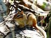 A chipmunk (mrsparr (on the mend at last)) Tags: chipmunk animal wildlife mammal log highpark toronto ontario canada dof bokeh sunlight