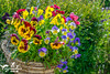 Spring Pansy Hanging Basket (SLHPhotography1990) Tags: spring flowers blossom colour riot beauty beautiful nature life plants garden bloom patterns shapes petals pansy hanging basket explosion red blue green yellow