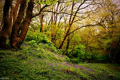 Blue Hue (Melanie Gregory) Tags: woodlands countryside woods bluebells spring nature beauty naturalbeauty