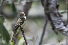 Acadian Flycatcher (fernaabs) Tags: acadian flycatcher empidonax virescens mosquerito verdoso passeriformes tyrannidae aves fernaabs burgalin avesdecostarica