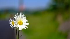 Flowers - 5166 (YᗩSᗰIᘉᗴ HᗴᘉS +15 000 000 thx) Tags: daisy flower flora hensyasmine namur belgium europa aaa namuroise look photo friends be wow yasminehens interest intersting eu fr greatphotographers lanamuroise tellmeastory flickering
