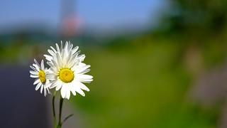 Flowers - 5166