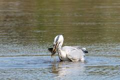 Grey heron (jkyles32) Tags: summerleys northants greyheron wildlifetrust