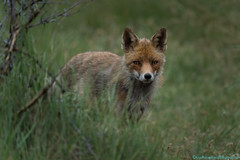 Vos (Vulpes Vulpes) Fox AWD (Rudaki1959) Tags: fox forest fotofair walking walk wildlife wild woods watch earthnaturelife explore telezoom eyes outdoors outdoor portraits animal holland voorjaar kennemerland closeup close visitor natuurmonumenten netherlands nature natural natuur natur nederland animalphotography