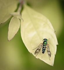 Long-legged Emerald Fly (WinRuWorld) Tags: dolichopodidae diptera fly longleggedfly insect invertebrate arthropod sciapodinae austrosciapusconnexus macro macrophotography nature naturephotography wildlife wildlifephotography outdoors insectsofaustralia australia nsw newsouthwales insectphotography canon canonphotography green entomology