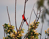 cardinal (k. kohler) Tags: cardinal