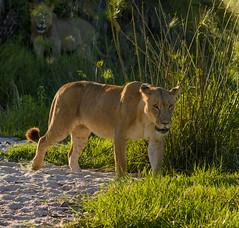"""MOM AND THE BOYS"" (John C. Bruckman @ Innereye Photography) Tags: botswana okavangodelta lions mothers sons hunting pride"