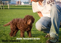 Hershey - Doodle Sweethearts photo - 05 (JD and Beastlet) Tags: