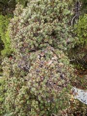 Plant sp (Baractus) Tags: john oates rodney creek snake hill national park cradle mountain np tasmania australia plant unidentified inala nature tours