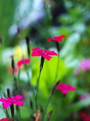 red (Darek Drapala) Tags: red flower flowers nature panasonic poland polska panasonicg5 park plants lumix light closeup botanic bokeh