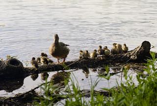 Duck family :)