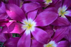 Tulips (San Francisco Gal) Tags: tulipa bloom blossom flower fleur macro tulip filoli coth5