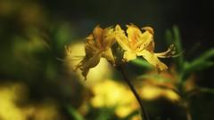 *** (pszcz9) Tags: przyroda nature natura kwiat flower zbliżenie closeup bokeh beautifulearth sony a77