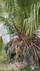 Palm berries   Stock Island, FL (Kaemattson) Tags: florida keys key west fl atlantic ocean gulf mexico gulfofmexico atlanticocean bayofflorida everglades limestone keywest southernmost